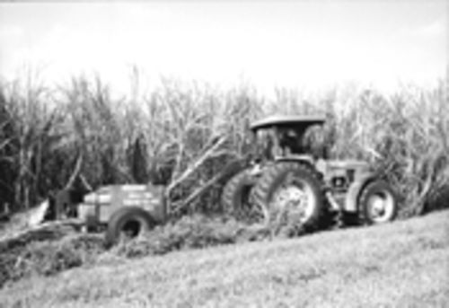 After the sugar harvest was mechanized in 1993, thousands of cane cutters lost their jobs