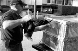 The Chicken Busters help weary residents sleep late: code  enforcement officer Guillermo Borges