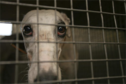 Greyhounds race from 18 months old until they're 4 or 5. After that, the industry no longer needs them.