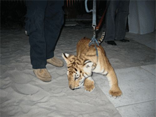 Unfortunately the baby tiger did not devour the ugly shoes