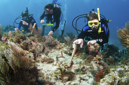 Divers check on corals that were transplanted from a nursery to the Florida Reef Tract.
