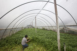 Like Yin Vuth, most farmers exclusively grow water spinach inside greenhouses, which can become suffocatingly hot in the middle of the day, reaching around 120 degrees.
