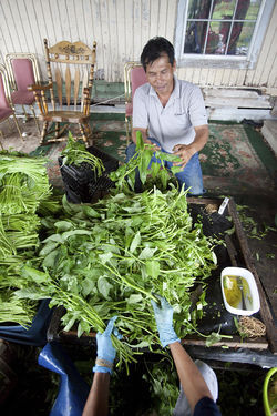 Yin Vuth, who's harvested water spinach in The Village for about 30 years, takes hundreds of pounds of the crop into Houston on Thursdays but says he makes substantially less money today than he did years ago.