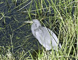 The Glades protect endangered species, like the rare blue heron