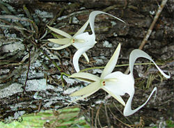 Two ghost orchid flowers in bloom