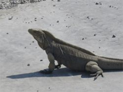 One of many resident iguanas