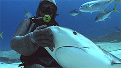 Cristina Zenato, a professional shark diving guide, poses with a reef shark off Freeport, Grand Bahama Island.