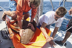 Andrew Cox subdues a nurse shark while other researchers take blood and tissue samples.