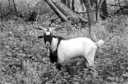 This goat's film debut featured a panther attack it was lucky to survive, and though it fully recovered, its moment of terror could mean felony animal-cruelty charges for Jan Jacobson
